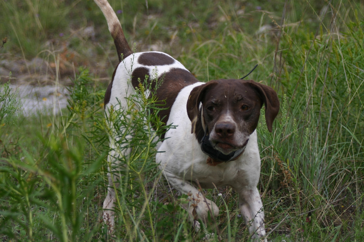 Dove Hunting Dogs Texas