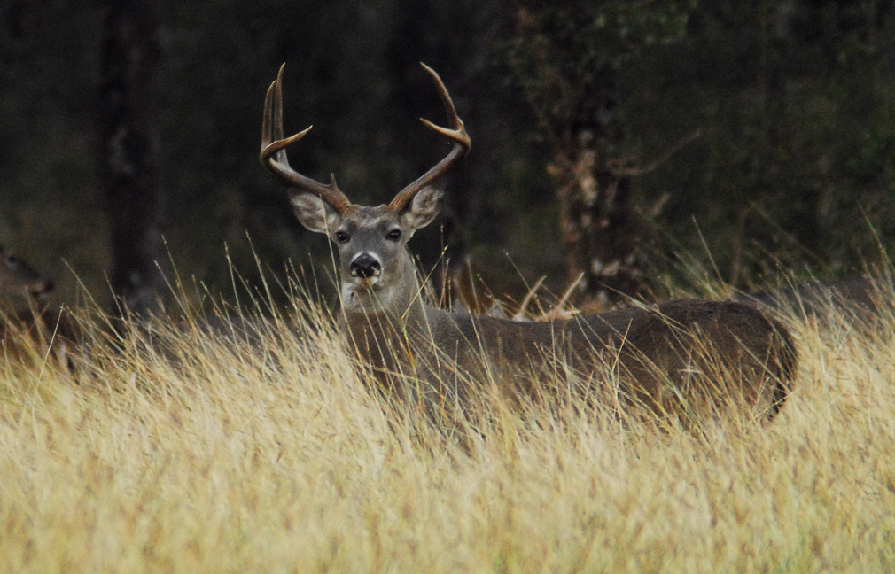 South Texas Whitetail Hunts